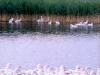 Víziszárnyastenyésztés és fajtafenntartás